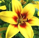 Asiatisk lilja, 'Grand Cru'