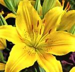 Asiatisk lilja, 'Nove Cento'