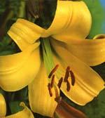 Trumpetlilja, 'Golden Splendour'