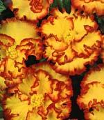 Begonia marmorata camelia, 'Crispa'
