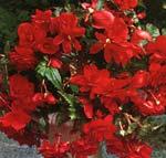 Begonia pendula, 'Cascade Röd'