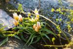 Flocktulpan, Tulipa tarda