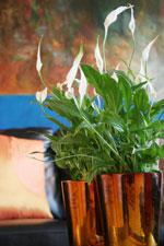 Fredskalla, Spathiphyllum