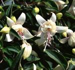 Fuchsia Harry Grey