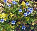 Gentiana och Trifolium repens 'Purpurascens' m.fl.