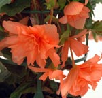 Orange hängbegonia 'Gubben & Gumman'