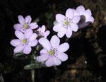 Hepatica nobilis 'Rosea'
