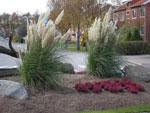 Höstljung med pampasgräs i en rondell