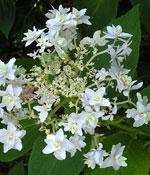 Purpurhortensia, Hydrangea serrata 'Angustata'