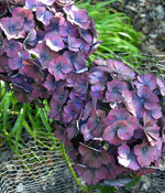 Tträdgårdshortensia, Hydrangea macrophylla 'Holehird Purple'
