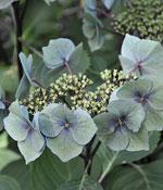 Trädgårdshortensia, Hydrangea macrophylla 'Zorro'