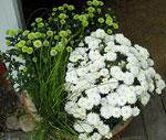 Krysantemer med rufsigt starrgräs