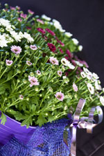 Krysantemum 'Pico', blandade färger