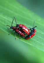 Liljebaggar på äventyr