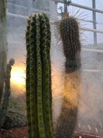 Ljusspel och dimmslöjor bland pelarkaktusar