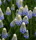 Persisk pärlhyacint, Muscari aucheri 'Ocean Magic'