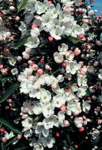Prydnadsapel 'Adirondack', Malus 'Adirondack', blommor