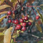 Purpurapel, Malus 'Liset', frukt
