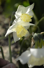 Orkidénarciss, Narcissus (Triandrus-Gruppen) 'Tresamble'