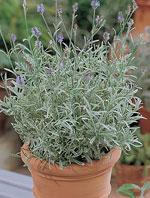 Lavendel 'Walbertons Silver Edge'