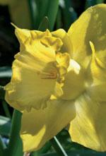 Påsklilja, Narcissus pseudonarcissus