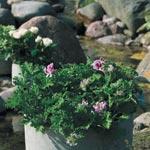 Pelargonium graveolens, rosengeranium