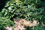 Polygonum polystachyum, Astilbe simplicifolia m fl