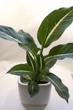 Prickblad Dieffenbachia seguine 'Green Magic'