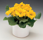 Primula vulgaris, jordviva