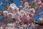 Prydnadskörsbär 'Accolade' - Prunus 'Accolade'