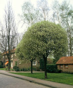 Klotkörsbär - Prunus x eminens 'Umbraculifera'