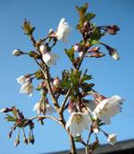 Prunus insica 'Kojou-No-Mai'