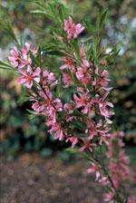 Dvärgmandel - Prunus tenella 'Fire Hill'