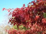 Quercus coccinea 'Splendens'