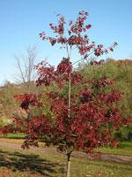 Quercus velutina, ungt träd
