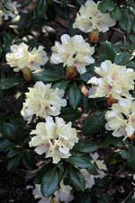 Rododendron aureum