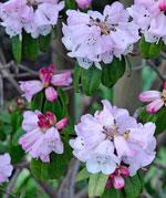 Rododendron strigillosum syn pachytricum