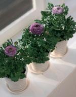 Ranunculus-hybrid