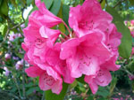 Rododendron 'Anna Rose Whitney'