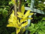 Robinia pseudoacacia 'Frisia', gul robinia