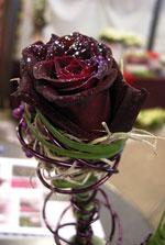 Den svartröda rosen 'Black Baccara' är beströdd med lite silverglitter.