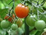 Söt kinesisk tomat