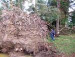 Granar har grunda rötter mest utmed markytan. Jämför storleken med en stor grans rötter och lilla mig!