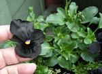 Viola × wittrockiana 'Black Delight'