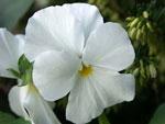 Viola cornuta 'Sylvia'