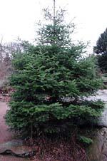 Abies cephalonica växer tätt och fint
