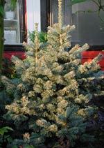 Abies lasiocarpa compactum