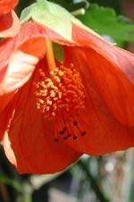 Abutilon hybrid, orange