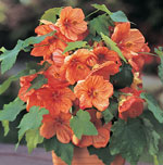 Klockmalva, Abutilon x hybridum 'Bella Apricot Shades'