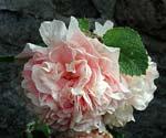 Stockros, Alcea rosea